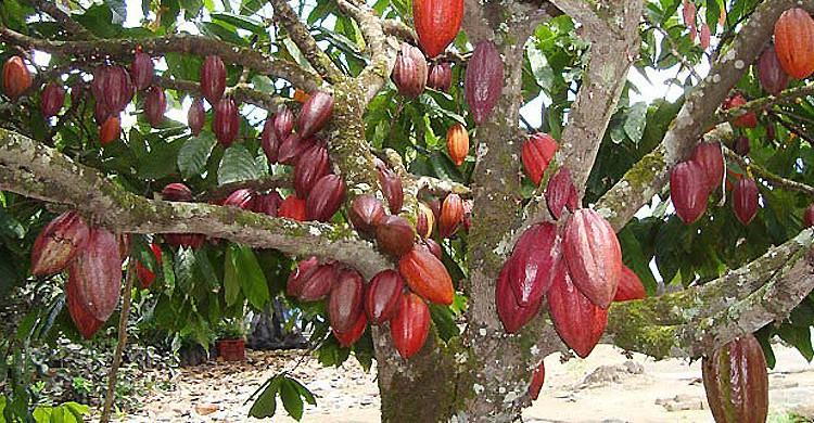 Cacao du Brésil - Google