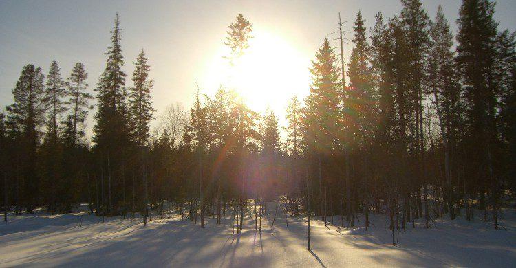 Forêt enneigé en Laponie