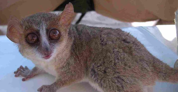 Le Lémurien de Madagascar