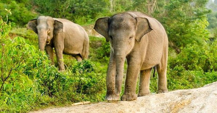 Les éléphants de Sumatra