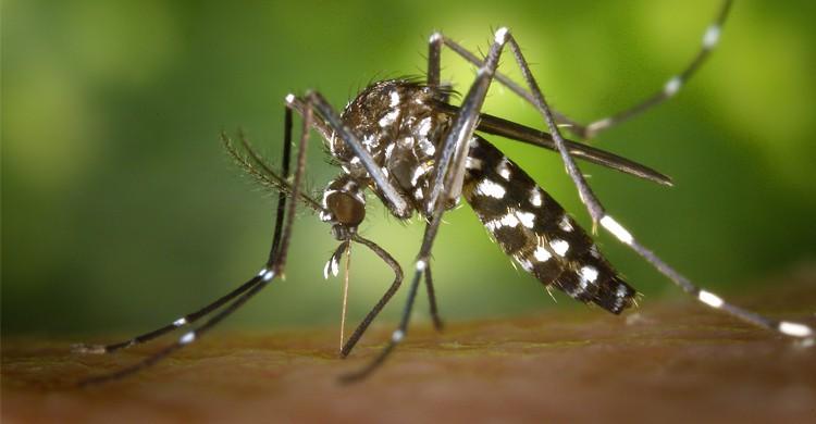 moustique tigre - wikipedia