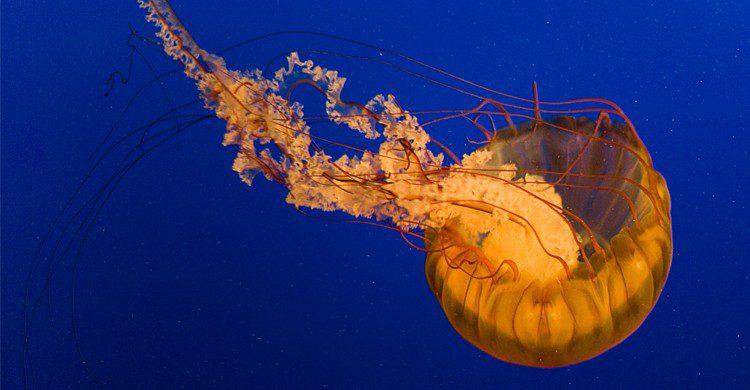 La box jellyfish - dandesroches
