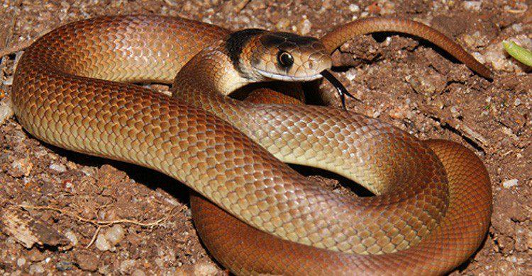 Le brown snake - tdpri