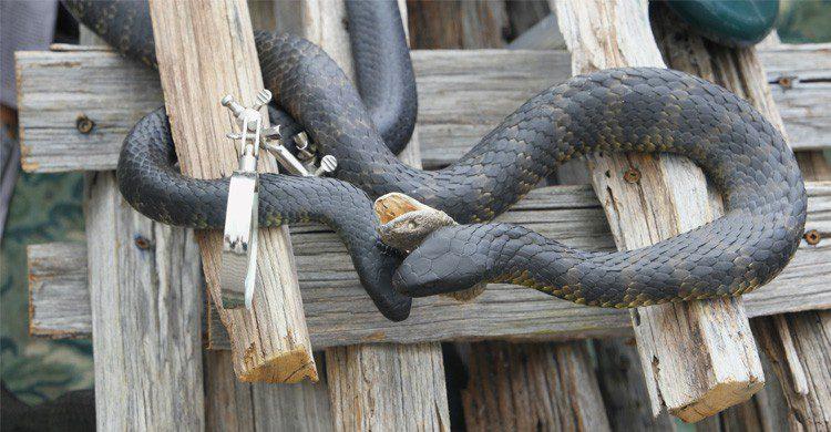Le tiger snake - andesign101