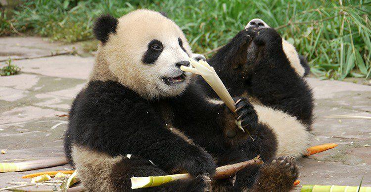 Panda Sichuan (Flickr)