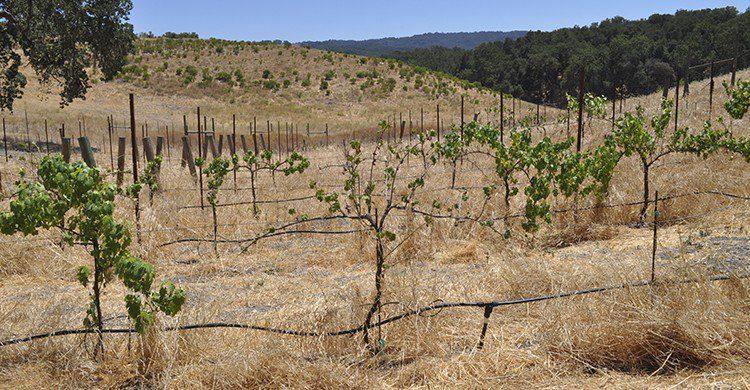 Champ de vignes désertique (Istock)